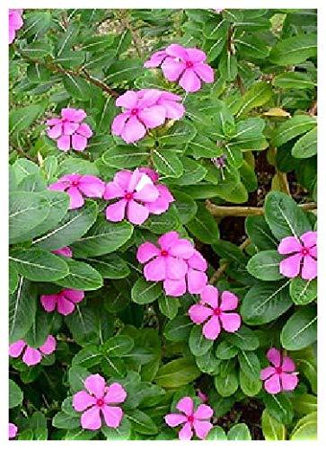 TROPICA - Madagaskar - Immergrün (Catharanthus tosens syn. Vinca roseus) - 400 Samen
