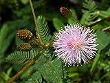 Seedeo® Anzuchtset Echte Mimose (Mimosa pudica)