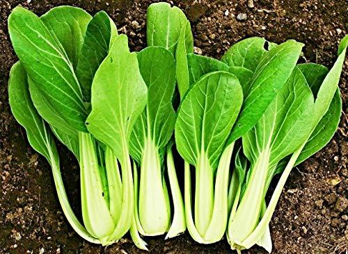 100 Canton Pak Choi Samen, Brassica rapa var. chinensis, Chinakohl, Bok Choy, chin. Senfkohl, für Kim chi