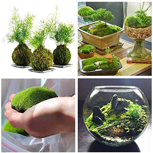 Kisshes Garten - 100 Stk Sphagnum Moos Samen Bonsai Moos Ball Dekorative Grassamen Garten Samen Pflanzen Saatgut
