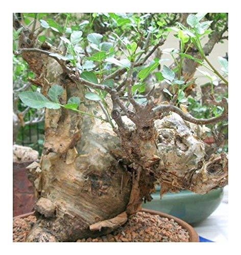 種子パッケージ:血清fagaroides - - 5 SeedsSEED