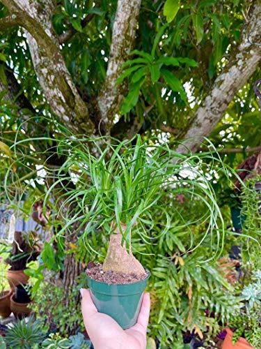 SmartMe Flowering Plant - Palm Ponytail Palm Bonsai Beaucarnea Recurvata | Elephant Foot | Rare Succulent Live Plant. c11