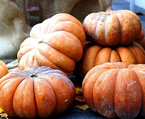 FERRY HOCH KEIMUNG Seeds Nicht NUR Pflanzen: Gemüse - Squash - Muscade De Provence - 25 Seeds - Moschus-Kürbis