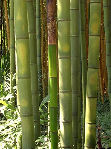Seedeo Anzuchtset Riesenbambus (Dendrocalamus gigantea) 60 Samen