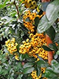 Pyracantha Saphyr Jaune® - Feuerdorn Saphyr Jaune® - Preis nach Größe 60-100 cm