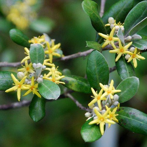 Plant World Seeds - Corokia Virgata 'Yellow Wonder' Seeds