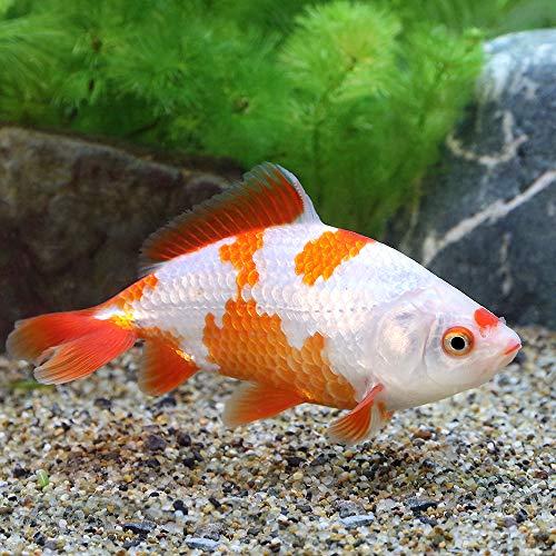 (国産金魚)更紗和金 志村養魚場産(1匹)