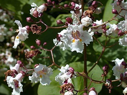 Blut-Trompetenbaum Catalpa erubescens 'Purpurea' Pflanze 70-80cm Beamtenbaum