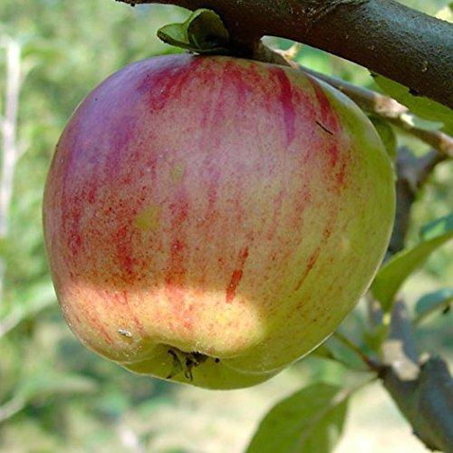 Gravensteiner, Herbstapfel Apfel, Buschbaum ca 120-150 cm im 10 Liter Topf, M 26
