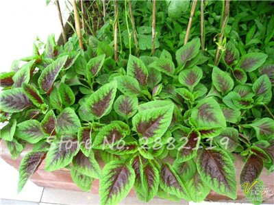 Herb Amaranthus Tricolor Seeds 50 Pcs graminée Semente non Ogm végétale comestible Bonsai Plante en pot sain sucré 4
