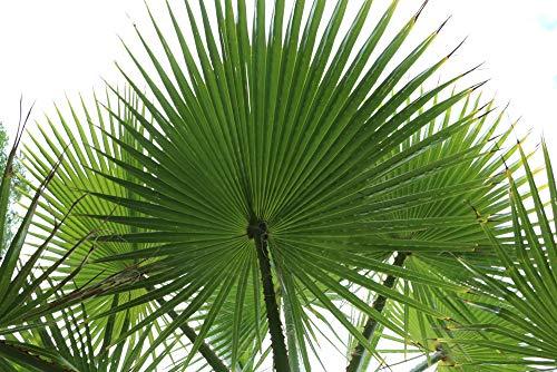 Washingtonia filifera California Fan Palm Samen Kalte Trockenheit, Salz Wind Tolerant (10)