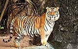 1000 Piezas Rompecabezas de Madera de Hijos Adultos Siberian tiger cat stone predator Jigsaw puzzle para Juegos casuales de bricolaje -75x50cm