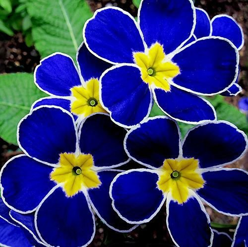 Promotion 100 Evening Primrose- Blau Nachtkerze, duftend DIY Hausgarten Blume robuste Pflanze, samen nur