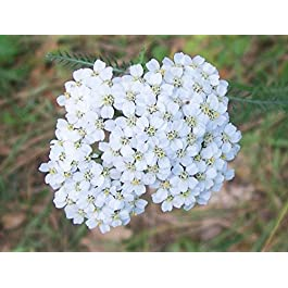 Yarrow seeds – Grow your own rabbit food