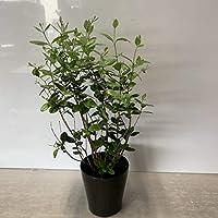 フェイジョア5号(庭木の種類)
