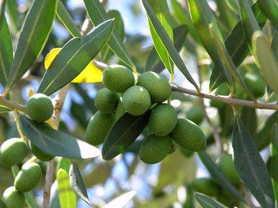 Echte Olive olea europea 5 Samen