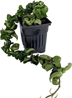 Best rope plant hoya Reviews