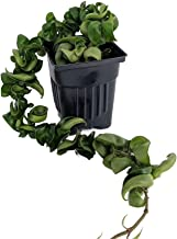 Extra Long Hindu Indian Rope Plant - Hoya - Exotic/Easy/Blooming Size - 4