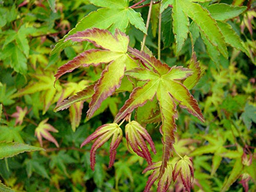 Japanese Maple Little Princess - Acer Plant 25-35cm in Height - Amazing Autumn Foliage Plant