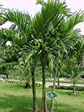 Germination Seeds: 100 Seed VEITCHIA MERRILLII, Manila Palm, Christmas Palm