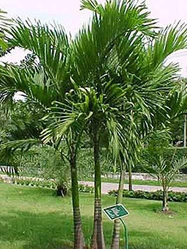 Keimsamen, Veitchia MerrillII, Manila Palm, Weihnachtspalme, 10 Samen