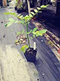 Popcorn Cassia, Senna didymobotrya, 4in Potted Plant, Organic, GMO Free, Heirloom