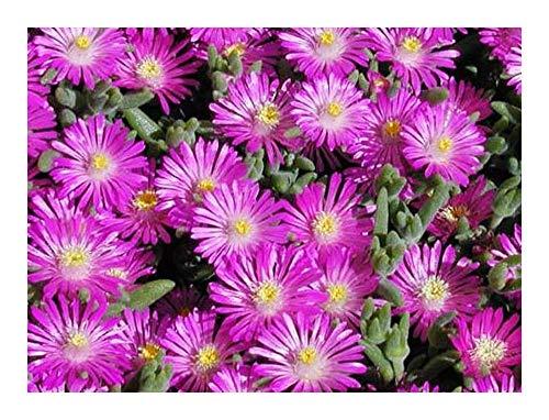 Delosperma aberdeenense - Mittagsblume - 10 Samen