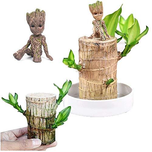 Brasilien Lucky Badan Wood Hydroponic Topfpflanze Stumpf Mini Pflanze Indoor Geschenk(5cm)