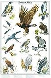 Birds of Prey Poster and Identification Chart Vol. 2 - Eagles and Hawks - Artist: Karen Pidgeon