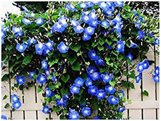 250 Heavenly Blue Morning Glory Blooming Vine Seeds - Wonderful Climbing Heirloom Vine - Morning Glory Non GMO and Neonicotinoid Seed