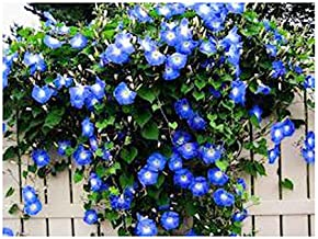250 Heavenly Blue Morning Blooming Vine Seeds - Wonderful Climbing Heirloom Vine - Morning Glory Non GMO and Neonicotinoid...