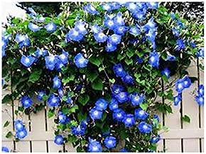 250 Heavenly Blue Morning Glory Blooming Vine Seeds - Wonderful Climbing Heirloom Vine - Morning Glory Non GMO and Neonicotinoid Seed