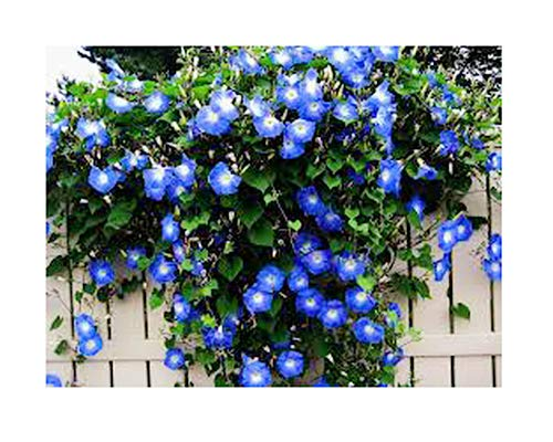250 Heavenly Blue Morning Blooming Vine Seeds - Wonderful Climbing Heirloom Vine - Morning Glory Non GMO and Neonicotinoid Seed. Marde Ross & Company