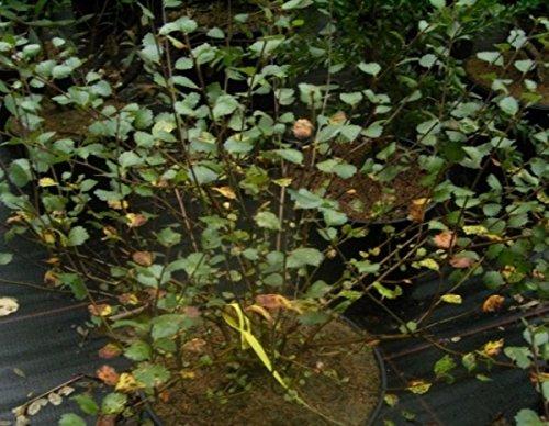 Betula nana - Polar-Zwergbirke - 30-40 cm