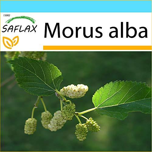 SAFLAX - Kit cadeau - Mûrier blanc - 200 graines - Morus alba