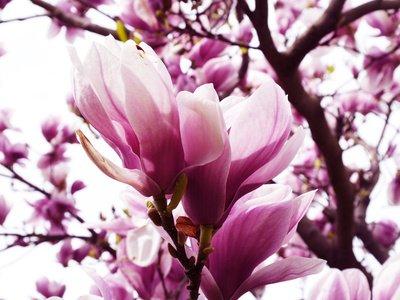 Magnolie Magnolia loebneri 5 Samen FROSTHART
