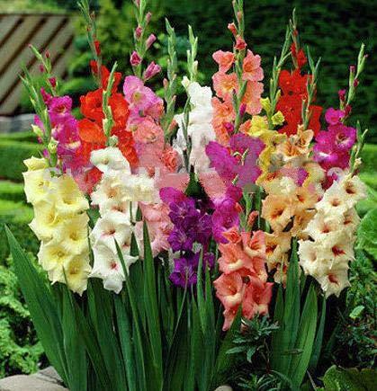 200 Teile/beutel Gladiolen Blumensamen Seltene Samen, Topfpflanzen Bonsai Samen Zum Verkauf Hausgarten Bauernhof