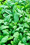 Semi di spinaci Nuova Zelanda - Tetragonia expansa