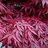"""SEEDVALLEY Acer palmatum """"Atropurpureum"""" (Arce Rojo japonés)"""