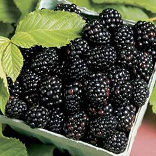 begorey Garten - 100 Stk. Seltene Brombeersamen Hohe Ernährung Obst Samen Blackberry Seeds Süße schwarze Berry Black Maulbeere Samen Fruit Seeds