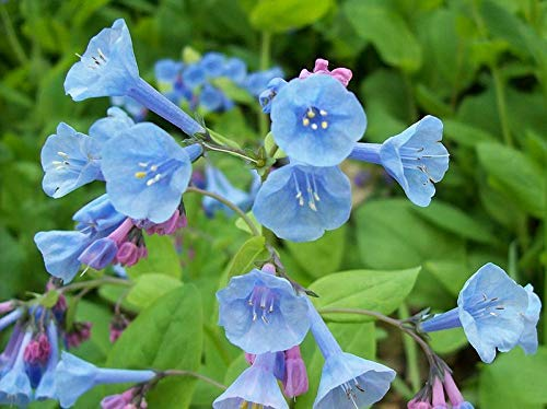 25S-e-e-ds Virginia Bluebells Blue & Pink Mertensia Virginica S-e-e-ds