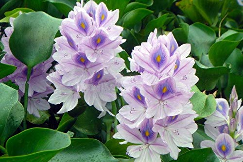 Water Hyacinth And Pot Seeds, Flower Plant Seeds Easy Grow Mixed Colors 50 Seeds/Pack Best Little Garden Bonsai Home