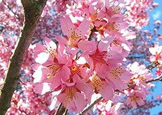 Best okame cherry tree height Reviews