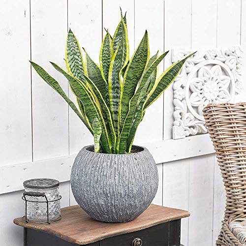 Sansevieria Laurentii Plant - Premium Evergreen Potted Indoor House Tree in 13cm