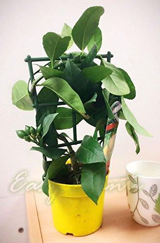 1 árbol cítrico de limón en maceta, planta aromática de casa – 30-35 cm de alto