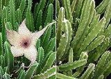 Semi ad alto tasso di germinazione Stapelia combo gigantea + leendertziae en direct pflanzenstecklingen saftig nicht kaktus La confezione contiene 1 set di semi L'immagine è solo un'indicazione di tipo