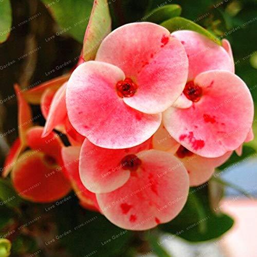 Kalash Neue 100 PC Euphorbia Milii Mittelblumensamen für Gartenhellrosa