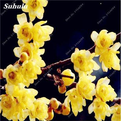 5 pièces rares Couleur vivaces Wintersweet graines, fleurs de pruniers, Rouge Blanc Jaune Rose Calyx Canthus Fleur Graine-Terre Miracle 1