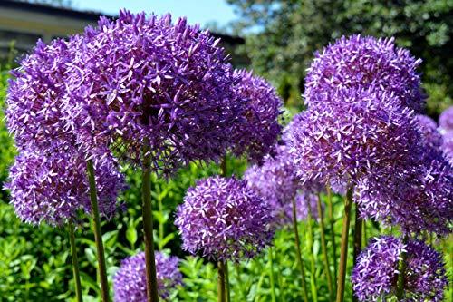 Riesen Zierlauch \'Globemaster\' 10 Samen (Allium Giganteum)