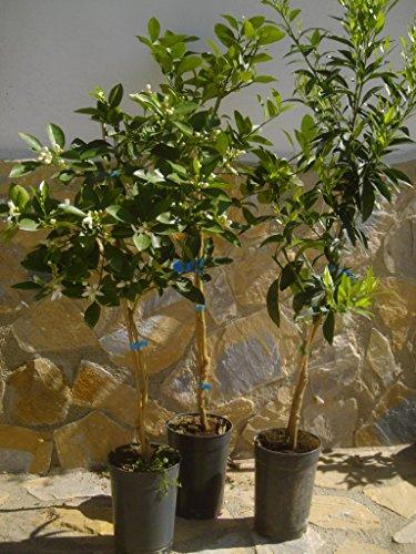 Set de 3 árboles cítricos: limonero, Mandarino y Naranjo
